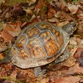 Box Turtle in Alabama Stock Photo
