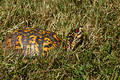 Box Turtle II Royalty Free Stock Photo