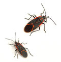 Boxelder Bugs Stock Photography