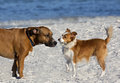 Boxer basset and sheltie collie papillon mixed breed dogs a play in the sand on a gulf coast beach Stock Images