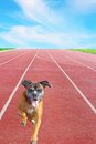 Boxer breed running on sport track happy playful towards the camera Royalty Free Stock Images