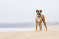 Boxer dog on beach foggy Stock Image