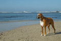 Boxer dog on beach foggy Royalty Free Stock Images