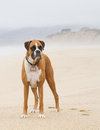 Boxer dog on beach misty Stock Photo