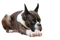 Boxer dog a beautiful purebred relaxing Royalty Free Stock Photos