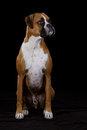 Boxer Dog on Black Stock Photo