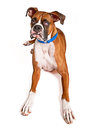 Boxer dog with blind eye and drool a large rescued that is in one had a bubble coming out of his mouth Royalty Free Stock Image