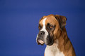 Boxer dog on blue portrait Royalty Free Stock Image