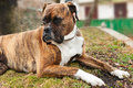 Boxer dog breed is lies looking on something Stock Images