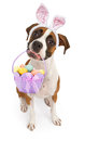 Boxer dog carrying easter basket a tri colored sitting down and looking up while wearing bunny ears and holding an in her mouth Stock Photos