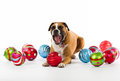 Boxer Dog with Christmas Ornaments Royalty Free Stock Image