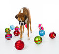 Boxer Dog with Christmas Ornaments Stock Photos
