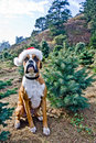 Boxer Dog at Christmas Tree Farm Royalty Free Stock Photography