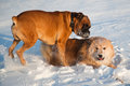A boxer dog and an elo german dog breed dog playing frolic in the snow Stock Image