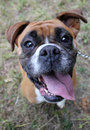 Boxer dog head close up Royalty Free Stock Image