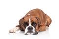 Boxer dog lying on white background Royalty Free Stock Photo