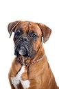 Boxer dog portrait Royalty Free Stock Photography