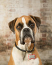 Boxer dog portrait brick background Royalty Free Stock Photos