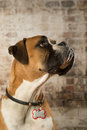 Boxer dog portrait brick background Royalty Free Stock Images