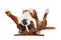 Boxer dog resting on white background Royalty Free Stock Photo