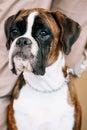 Boxer Dog Sitting near Owner Royalty Free Stock Photo