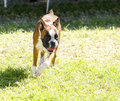 Boxer dog a young beautiful fawn red mahogany and white medium sized with cropped ears running on the grass boxers have a short Royalty Free Stock Photo