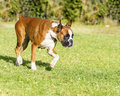 Boxer dog a young beautiful fawn red mahogany and white medium sized with cropped ears running on the grass boxers have a short Royalty Free Stock Photos