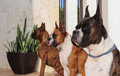 Boxer dogs three purebred with brindle and fawn coat colors Stock Photos
