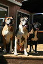 Boxer Dogs Trio Royalty Free Stock Images