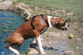 Boxer Fetching Ball From Lake Stock Images