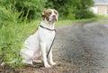 Boxer Pitbull Terrier bulldog mixed breed dog