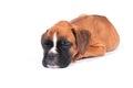 Boxer puppy dog Royalty Free Stock Photo