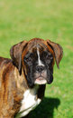 Boxer puppy portrait Stock Photos
