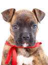 Boxer puppy with red ribbon Royalty Free Stock Photography