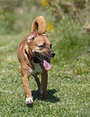 Boxer/Rhodesian ridgeback mixed breed dog Royalty Free Stock Photos