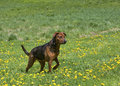 Boxer shepherd mixed breed dog a playing in a grassy meadow Stock Photo
