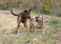 Boxer Shepherd and Puggle mixed breed dogs. Stock Photography