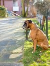 Boxer waits for owner Royalty Free Stock Photo