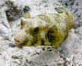 Boxfish Royalty Free Stock Images