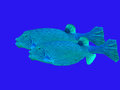 Boxfishes boxfish pair tropical waters bluewater Royalty Free Stock Photos