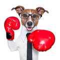 Boxing dog business punching towards camera with red gloves Stock Photography