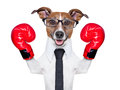 Boxing dog business with red gloves Stock Images