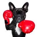 Stock Photography Boxing dog