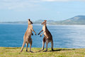 Boxing Kangaroos - Australia Stock Photos