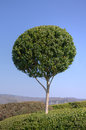 Boxwood Stock Photos