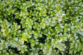 Boxwood background Royalty Free Stock Photo