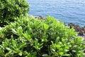 Boxwood, boxus on the Mediterranean Sea coast Royalty Free Stock Photo