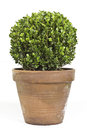 Boxwood plant Stock Photos
