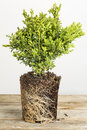 Boxwood plant young of bush with exposed root ready for planting Stock Photo