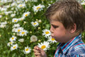 Boy blowing dandelion kid against beautiful background with marguerites Stock Photography